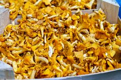 Chanterelle mushrooms Stock Images