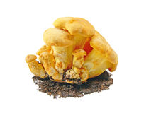 Chanterelle mushrooms. On a white background Royalty Free Stock Photography