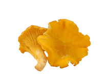Chanterelle mushrooms. On a white background Stock Photo