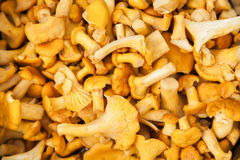 Chanterelle mushrooms background Royalty Free Stock Photo