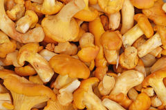 Chanterelle mushrooms background. Macro photography Royalty Free Stock Photos