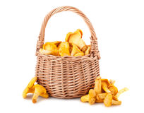 Chanterelle mushrooms in basket Royalty Free Stock Images