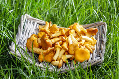Chanterelle mushrooms Stock Photography