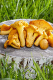 Chanterelle mushrooms Royalty Free Stock Photos