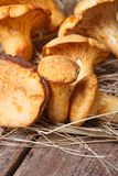 Chanterelle mushrooms close up in dry grass on wooden Royalty Free Stock Photo