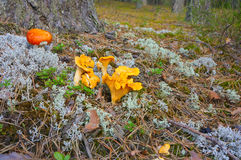 Chanterelle mushrooms in the forest Royalty Free Stock Image