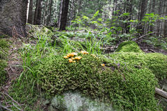 Chanterelle Mushrooms in the Forest Stock Photography