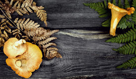 Chanterelle mushrooms Royalty Free Stock Photos