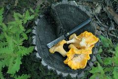 Chanterelle mushrooms Stock Photos