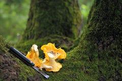 Chanterelle mushrooms Royalty Free Stock Photo