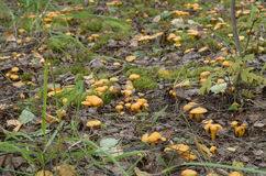 Chanterelle mushrooms grow on the edge of the forest. Stock Photography