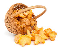 Chanterelle mushrooms Royalty Free Stock Image