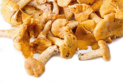 Chanterelle mushrooms isolated Royalty Free Stock Image