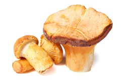 Chanterelle mushrooms isolated on white macro. Chanterelle mushrooms isolated on white background macro horizontal Royalty Free Stock Image
