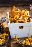 Chanterelle mushrooms in a wooden crate Royalty Free Stock Photo