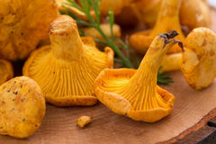 Chanterelle on a wooden background, selective focus Royalty Free Stock Images