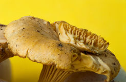 Chanterelle yellow mushroom Royalty Free Stock Image