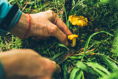 Chanterelle yellow mushrooms in woman hand stock photography