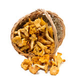 Chanterelles in a basket Royalty Free Stock Photos