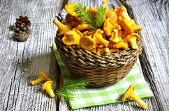 Chanterelles in the basket. Royalty Free Stock Images