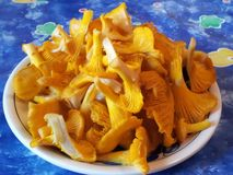 Chanterelles. Cantharellus cibarius, chanterelle, mushroom Royalty Free Stock Images