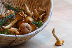 Chanterelles collected in a basket, one of the mushrooms dropped Royalty Free Stock Photos