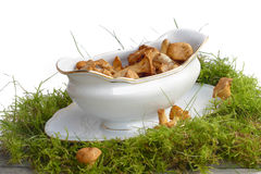 Chanterelles collected in a gravy boat standing on moss for mush Stock Photos