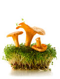 Chanterelles and cress Royalty Free Stock Photos