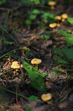 Chanterelles in forest Stock Images