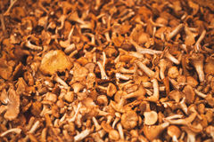 Chanterelles. Fresh chanterelles offered at a market royalty free stock photography