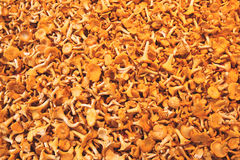 Chanterelles. Fresh chanterelles offered at a market royalty free stock photos