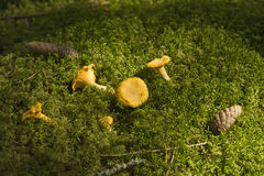Chanterelles. In green moss in a forest in Sweden stock image