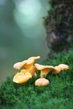Chanterelles on the moss Royalty Free Stock Image
