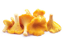 Chanterelles mushrooms Stock Images