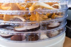 Chanterelles and porcini mushrooms in the dehydrator. Chanterelles and porcini mushrooms slices in the dehydrator organized in layers royalty free stock image