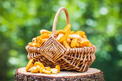 Chanterelles in wicker basket on forest background Stock Images