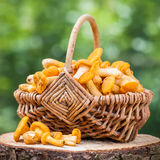 Chanterelles in wicker basket in forest Stock Photos