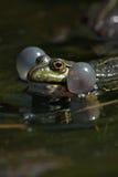 Chanteur dans le marais Photographie stock libre de droits