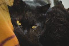 Chantilly-Tiffany kattenkater vóór slaap die door zijn staart aan camera kijken Zwarte Chantilly-kat met aardige geelgroene ogen Stock Fotografie