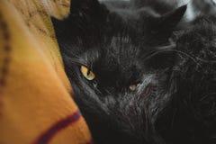 Chantilly-Tiffany kattenkater vóór slaap die door zijn staart aan camera kijken Zwarte Chantilly-kat met aardige geelgroene ogen Stock Foto
