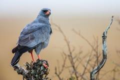 Южный бледный ястреб-тетеревятник Chanting (canorus) Melierax, Южная Африка Стоковые Фотографии RF