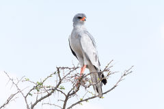 Chanting goshawk Stock Images