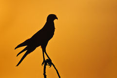Chanting Goshawk in backlight at sunset. In Namibia Stock Image