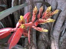 Chantinii Aechmea - ένα τροπικό λουλούδι Στοκ φωτογραφία με δικαίωμα ελεύθερης χρήσης