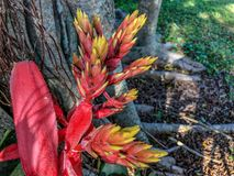 Chantinii Aechmea - ένα τροπικό λουλούδι Στοκ Εικόνα