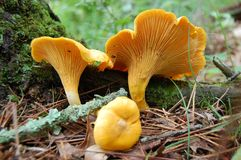 chantrelles Obraz Stock