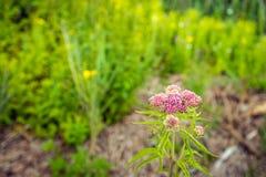 Chanvre-agrimony fleurissant rose poussiéreux pâle dans le premier plan d'un r Photographie stock libre de droits