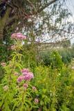 Chanvre-agrimony fleurissant rose poussiéreux pâle dans le premier plan d'un r Photos libres de droits