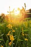 Chanvre de Sunn (juncea de Crotalaria) Photographie stock libre de droits