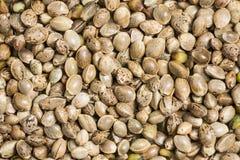 Chanvre - graines de cannabis photo libre de droits